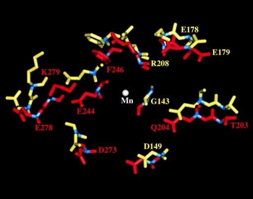 Protein movements of the iC3b-binding  site in the two structures. Position of the side chains of  residues involved in iC3b  binding on MIDAS relative  to Mn (white ball) in the open  (red) and closed (yellow)  structures. The residues that  are also involved in NIF  binding, G143, D149, E178E,  and R208 (based on single or  double amino acid substitutions) (Rieu et al., 1996), undergo little movement in the  two structures (see also Table II).