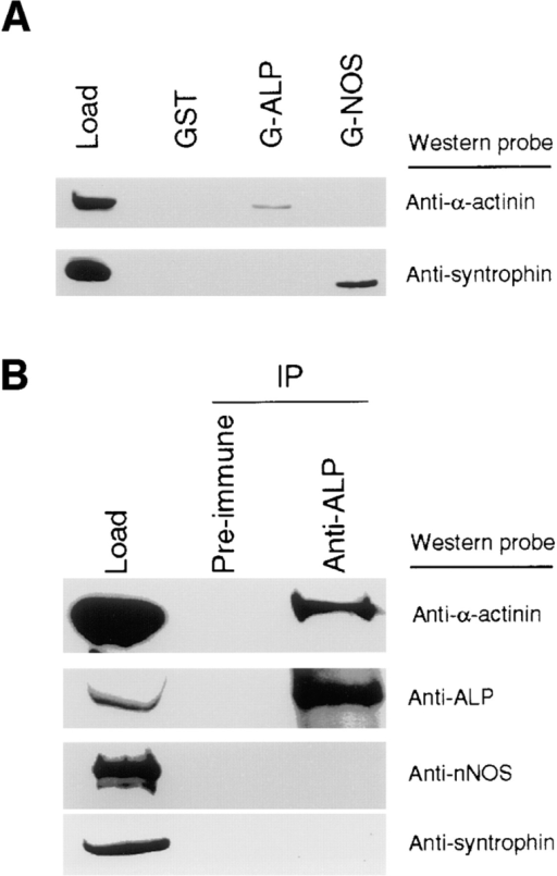 Association of  ALP and α-actinin-2 and  specificity of the PDZ–spectrin-like repeat interaction.  (A) Affinity chromatography  demonstrates that α-actinin-2  is selectively retained by an  immobilized ALP fragment  (amino acids 1–128) fused to  GST, not by GST–NOS  (amino acids 1–299) fusion  protein, which selectively  brings down syntrophin. The  load is 20% of the input used  for affinity chromatography  experiment. (B) Immunoprecipitation of skeletal muscle  extracts shows selective  coimmunoprecipitation of  α-actinin-2 with ALP antiserum but not with preimmune serum. By contrast, two control  proteins, nNOS and syntrophin, were not coimmunoprecipitated.  Immunoprecipitated proteins were resolved on four replicate  gels and probed with antisera to α-actinin, ALP, nNOS, and syntrophin. Load is 10% of the input used for the immunoprecipitation.