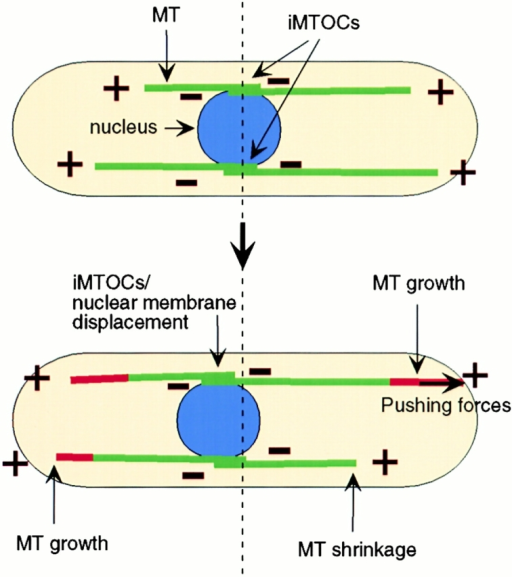 A model for nuclear positioning and interphase MT architecture in S. pombe. MTs are organized from medial organizing centers (iMTOCs) in multiple bundles with an antiparallel configuration and dynamic plus ends facing the cell tips and minus ends in medial-bundled regions. One MT bundle is attached to the nuclear envelope at the SPB, and other MT bundles may be attached at additional sites. When an MT end contacts the cell tip, MT polymerization produces a transient pushing force that pushes the MT lattice and attached nucleus away from that cell tip. A balance of these pushing forces from these MTs may position the nucleus in the middle of the cell.