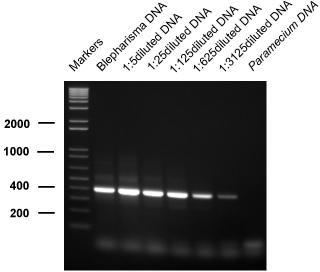 Sensitivity of detection of Blepharisma japonicum. Sensitivity of detection of Blepharisma japonicum by PCR amplification. Lanes denoted M contain molecular size markers – figures refer to sizes in base pairs. Dilutions of target DNA were amplified as follows: undiluted (lane 1), 1/5 (lane 2), 1/25 (lane 3), 1/125 (lane 4), 1/625 (lane 5), 1/3125 (lane 6). Lane 7 contains undiluted Paramecium caudatum DNA as a negative control.