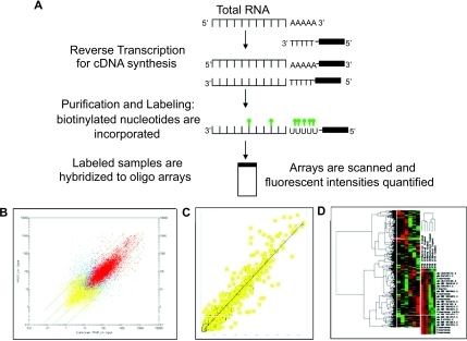 Oligonucleotide microarraysA) cDNA synthesis, labeling and hybridization to oligonucleotide array slides. B) Correlation coefficient analysis of gene expression data, showing, in red, probes with fluorescent intensities above the threshold of detection, and in yellow, absent fluorescence. C) Scatter plot analysis of gene expression data, showing the correlation between two of the samples that clustered together, where most probes have similar expression levels, with some probes differentially expressed between these samples. D) Hierarchical clustering of microarray data; in this analysis, samples with similar gene expression profiles are grouped together, cluster of genes is shown on the Y-axis and dendogram or cluster of samples is seen in the X-axis.