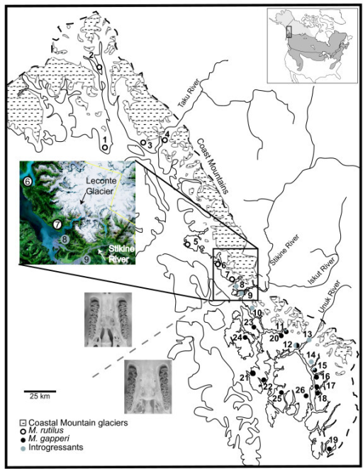 Distribution map of Myodes rutilus, M. gapperi, and introgressants in southeast Alaska. Open circles refer to individuals with post-palatal bridge morphology, cytochrome b haplotypes, and MYH6 alleles of M. rutilus. Black shaded circles refer to individuals with post-palatal bridge morphology, cytochrome b haplotypes, and MYH6 alleles of M. gapperi. Grey shaded circles refer to individuals with post-palatal bridge morphology and MYH6 alleles of M. gapperi and cytochrome b haplotypes of M. rutilus. Numbers correspond to population numbers in Table 1. The grey dashed line indicates change in post-palatal bridge morphology. Stippled areas indicate present-day glaciers. Inset of highlighted area is GIS glacial coverage that shows the LeConte Glacier extending to the coast, resulting in a physical barrier between populations 7 and 8.