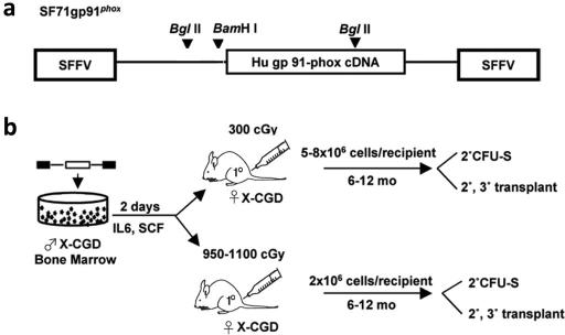 Experimental design(a) Schematic diagram of SF71gp91pho | Open-i