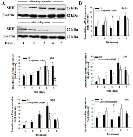 Cyclopamine treatment decreases the expression of the SHH ligand, Smo receptor, Gli1 factors, and increases the expression of the Ptch1. (A) Human 786-0 CRCC cells were seeded and treated for the indicated periods of time in control (Ctl) or with cyclopamine (Cyclopamine, 20 μM). Shown are western blot analysis of the SHH ligand in cell lysates from cells treated in each condition and incubated with antibodies against human SHH ligand and corresponding β-actin. The gels shown are representative for at least 3 independent experiments. (B) Human 786-0 CRCC cells were seeded and treated for the indicated periods of time in control (Ctl) or with cyclopamine (Cyclopamine, 20 μM). Quantitative gene expression of Ptch1, Smo receptors, Gli1, Gli2 and Gli3. Results are shown as mean ± SEM, n = 6 *, P < 0.05 from cells treated in Ctl at the same time point.