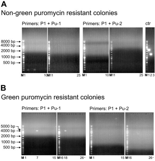 Analysis of the PuroR genomic integration site in 293-Flp-mEGFP cells. (A) The integrity of the mEGFP gene in non-green puromycin resistant colonies of 293-Flp-mEGFP cells was analyzed after transfection with pDonor together with the ZFNs. Genomic DNA isolated from 25 individual colonies was subjected to PCR using primer pairs as indicated above the panels. The genomic mEGFP specific primer (P1) was used together with the puromycin specific primers in opposite orientations (Pu-1 and Pu-2). Control PCR's (rightmost gel, ctr) using pEGFP-BABE-puro as template was performed with the primer pairs: P-amp + Pu-1 (lane 1), P1 + Pu-1 (lane 2), P1 + Pu-1 without template (lane 3) and PCR amplification produced the anticipated amplification products (2364 bp, 1429 bp and no product) verifying that primers worked under the given conditions. (B) PCR analysis of genomic DNA from 26 individual colonies displaying both green fluorescence (HR) and puromycin resistance (illegitimate recombination) after transfection with the pDonor and ZFNs. The genomic mEGFP specific primer (P1) was used together with the puromycin specific primers (Pu-1 and Pu-2) to investigate if the ΔEGFP and PuroR cassette had integrated in the genome of the 293-Flp-mEGFP cells as a single fragment or not. M represents the size marker and sizes of relevant bands are specified. Position of the PCR reactions from the individual colonies is indicated below the lanes.
