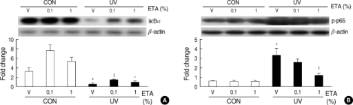 ETA increases IκBα expression and decreases NF-κB p65 phosphorylation in hairless mouse skin in vivo. Female HR-1 hairless mice were topically treated with vehicle (ethanol : polyethylene glycol=30:70) only, 0.1% ETA or 1% ETA once a day for 3 successive days after one time irradiation of UV (200 mJ/cm2) on dorsal skins. Skin biopsy was carried out on the fourth day (72 h after UV irradiation). (A) Expression of IκBα was detected by western blot analysis. (B) Phospho-NF-κB p65 was detected by western blot analysis. Results are expressed as fold change. Values are mean±SEM (n=8).*P<0.001 vs. control (CON) vehicle group; †P<0.05, ‡P<0.001 vs. UV-irradiated (UV) vehicle group.