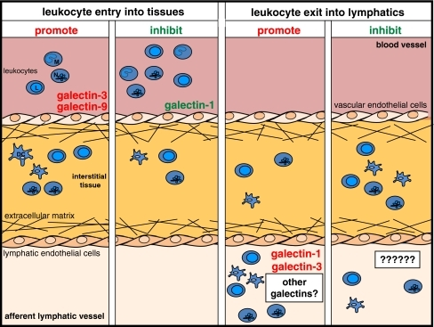 Galectin family members regulate leukocyte migration across vascular and lymphatic endothelium. Schematic representation of leukocyte entry from the blood vasculature into inflamed tissue and exit into the lymphatic system. Neutrophils (N), monocytes (M), monocyte-derived dendritic cells (DC), and lymphocytes (L) are shown. Galectin-3 and galectin-9 support the migration of leukocytes from the blood into tissues under inflammatory conditions while this process is inhibited by galectin-1 (left panels). Leukocyte exit into the lymphatic vasculature is increased in the presence of galectin-1 and galectin-3, but any role for galectins in negatively regulating this process has not yet been examined (right panels)