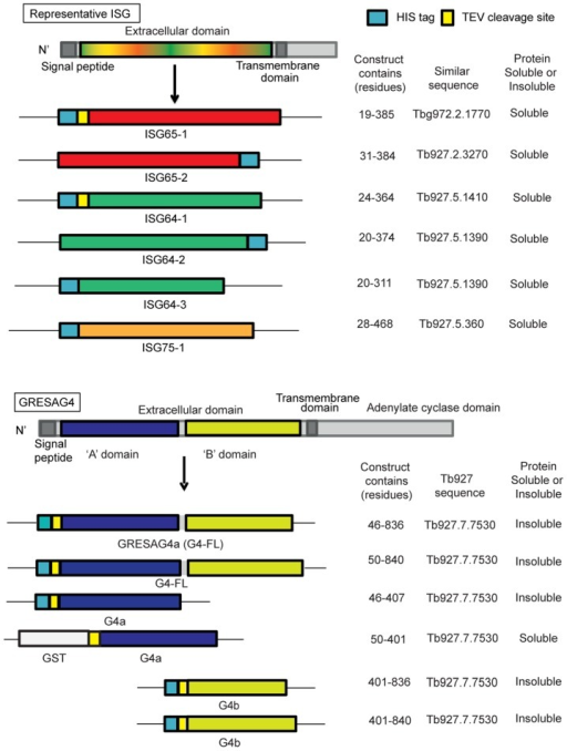 Recombinant protein antigens used in this study.A generic representation of the ISGs is shown at the top and a representation of GRESAG4 is shown at the bottom. All have cleavable N-terminal signal peptides and internal transmembrane domains, typical of type-1 membrane proteins. The constructs prepared and expressed and the soluble proteins successfully purified, are indicated.