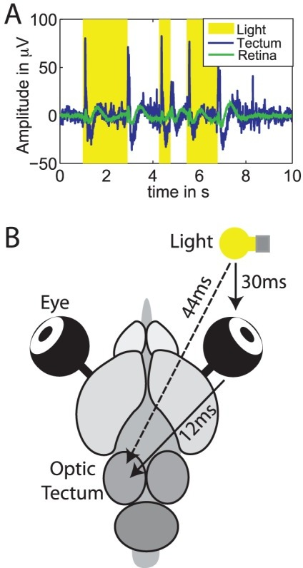 Interaction delay reconstruction in the turtle brain.(A) Electroretinogram (green), and LFP recordings (blue), light pulses are marked by yellow boxes. (B) Schematic depiction of stimulation and recording, including the investigated interactions and the identified delays.