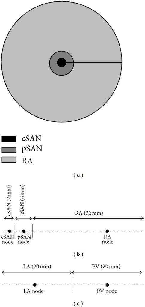 Setup of 2D disc models. (a) 2D disc approximation of the human SAN and surrounding atrial tissue. (b) 1D cable representation of 2D axisymmetric disc. AP waveforms at shown selected nodes representing cSAN, pSAN, and atrial tissue were optimised. (c) 1D cable representation of an LA-PV disc.