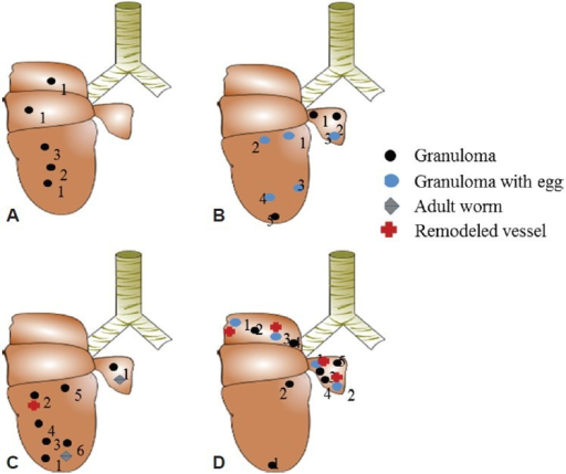 Anatomy Of The Mouse Lung Granuloma Deposition Adult Open I