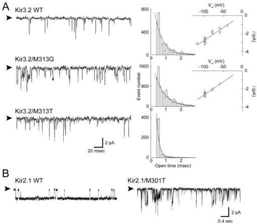 Effects of mutations at position 313 of Kir3.2 on single-channel currents.A. Single-channel recording of the indicated channel at −100 mV. The patch recording in the cell-attached configuration was obtained from HEK293T cells expressing Kir3.2 WT, M313G, and M313T. The holding potential was −100 mV. Open dwell time histograms for each channel are shown at the right side of the trace and are fit with a single exponential function. The single-channel current amplitudes of the WT and M313G mutant are plotted against the membrane potentials.B. Effects of substitutions of threonine 301 in Kir2.1.Met301 in Kir2.1 is equivalent to Met313 in Kir3.2. The substitution of threonine at Met301 in Kir2.1 resulted in a spiky opening with variable conductance. Arrowheads indicate the zero current level.