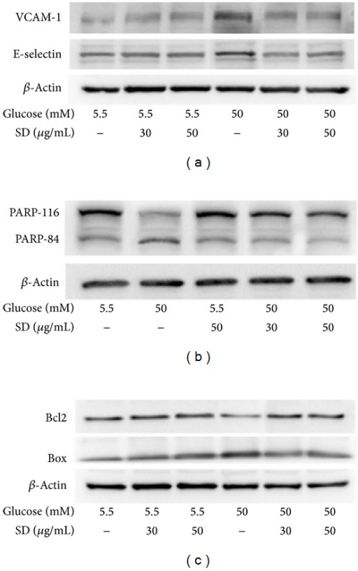 Effects of SD on HG-induced expression of VCAM-1, E-selectin, PARP-1, and Bax/Bcl2 in HUVEC: HUVECs (2 × 105 cells/well) were pretreated with SD (30 and 50 μg/mL) for 2 h and then treated with glucose (50 mM) for 30 min to detect the expression of (a) VCAM-1 and E-selectin, (b) PARP-1, and (c) Bax/Bcl2. The β-actin was used as an internal control.