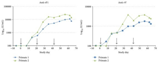 Assessment of anti-rF1 and anti-rV antibody titres in NHP serum after 3 intramuscular immunizations of 10 μg of rF1 and rV antigen. Detectable amounts of anti-rF1 and anti-rV antibodies were found in the serum 2 weeks after the primary immunization, with anti-rF1 consistently having a higher titre.
