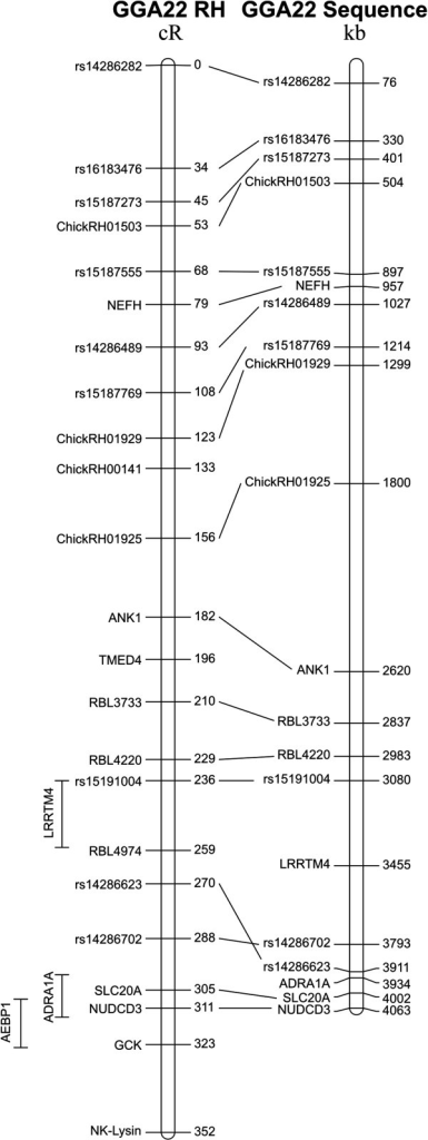 Radiation hybrid mapping of the NK-lysin gene and other markers on chromosome GGA22. The GGA22 RH map (left) is 352 cR long and is aligned to the chicken genome assembly (right); the location of the NK-lysin gene is indicated at the distal end of chromosome GGA22.