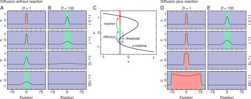 Diffusion can push the system across a threshold. (A, B) Diffusive spreading of a high-u state in the absence of reaction for two different diffusion coefficients. The values of u as a function of position and time are depicted both as curves and in a simplified red-green-blue heat map representation. Increasing the diffusion coefficient allows some regions within the low-u region to attain moderately high (green) levels of u more quickly, but for a shorter duration. (C) Phase plot for one point in space that is initially in the low-u region. Diffusion moves the value of u across the threshold into the green region, but in the absence of reaction, eventually returns it to the blue region. If the FHN reactions are fast enough, they can capture the suprathreshold trajectory and convert this point in space to a high-u (red) state. (D, E) Diffusion plus reaction allows self-regenerating trigger waves to propagate outward (D) unless the diffusion coefficient is too high (E).