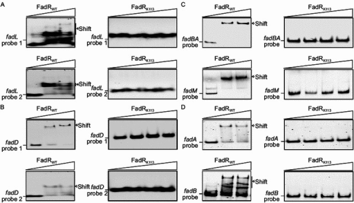 Mutant FadR protein (FadRK113) losses its DNA binding activityin vitro. The two FadR-binding sites from both fadL (A) or fadD (B) can bind to the wild-type FadR protein (FadRWT), whereas not the mutant version of FadR, FadRk113 (W60G). (C) The wild-type FadR protein (FadRWT) can bind to promoter regions covering the FadR-binding sites of fadBA and fadM, whereas FadRk113 does not. (D) FadRk113 fails to bind to promoter regions of fabA and fabB, two UFA biosynthetic genes whereas FadRWT does. All the EMSA experiments were carried out using 7% native PAGE, and a representative result is shown here. In gel shift assays, FadRWT is added as follows: 0, 0.5 and 1 pmol. Similarly, FadRK113 is supplemented in 0, 0.5, 1 and 2 pmol, respectively. All the DIG-labeled probes are added to 0.1 pmol