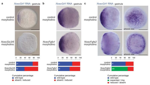 Regulation of N. vectensis Grl1 expression by the apical patterning network(a) RNA in situ hybridisation using a riboprobe against NvecGrl1 on whole mount N. vectensis embryos injected with either control or NvecSix3/6 morpholino oligonucleotides. Quantification of the phenotypes is shown below. Note that NvecGrl1 transcripts are relatively weakly detected and a fraction of control morpholino injected animals did not exhibit staining. The n is shown in white within each bar in this and all equivalent graphs.(b) RNA in situ hybridisation using a riboprobe against NvecGrl1 on whole mount N. vectensis embryos injected with either control or NvecFgfa1 morpholino oligonucleotides. Quantification of the phenotypes is shown below.(c) RNA in situ hybridisation using a riboprobe against NvecGrl1 on whole mount N. vectensis embryos injected with either control or NvecFgfa2 morpholino oligonucleotides. In NvecFgf2 morphants, note the precocious formation and larger size of the ring of NvecGrl1 transcripts around the aboral pole (compare with Fig. 3e). Quantification of the phenotypes is shown below. Scale bars in (a c) = 100 μm.