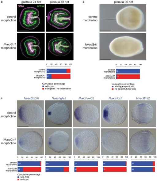 N. vectensis Grl1 is required for arboral pole patterning(a) Morphological phenotypes of N. vectensis embryos injected with either control (control#1) or NvecGrl1 (NvecGrl1#1) morpholino oligonucleotides, in which DNA (magenta) and the actin cytoskeleton (green) are labelled with TO-PRO-3 and Alexa Fluor 488 Phalloidin, respectively. The arrow marks the group of nuclei at the aboral pole that have translocated to a more basal position (towards the right of the image) in control but not NvecGrl1 morphants; this results in these cells forming a small indentation of the apical ectoderm (arrowhead). Scale bar = 100 μm (applies to all images). Quantification of the phenotypes is shown below.(b) Bright-field images of living 4 day planulae derived from N. vectensis embryos injected with either control (control#1) or NvecGrl1 (NvecGrl1#2) morpholino oligonucleotides revealing the failure in apical tuft develops in NvecGrl1 morphants. Quantification of the phenotypes is shown below. Scale bars = 100 μm.(c) RNA in situ hybridisation using probes against marker genes in animals injected with either control (control#1) or NvecGrl1 (NvecGrl1#1) morpholino oligonucleotides. Scale bar = 100 μm (applies to all images). Quantification of the phenotypes is shown below.