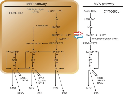Scheme of CK biosynthesis through plastidic MEP- and cytosolic MVA-pathway.Black arrows show the biosynthesis, interconversions and metabolism flow of CKs in Arabidopsis cell (adapted from [121]). The dashed arrow indicates the iPRMP-independent pathway of tZ biosynthesis [104]. The blue and the red arrows indicate a hypothetical exchange of common precursor(s) between the MEP and MVA pathways (adapted from [101]). GAP, glyceraldehyde 3-phosphate; PYR, pyruvate; DXP, 1-deoxy-D-xylulose 5-phosphate.