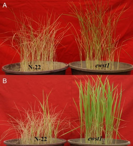 Identification of a gain-of-function mutant under PEG-induced water stress and soil-water stress. (A) Twenty-one-day-old seedlings of the selected mutant screened in pots by withholding irrigation for 6 days. (B) The extent of recovery of the mutant after 4 days of the recovery period.