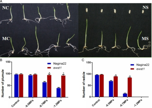 Germination of ewst1 when compared with its WT Nagina22 (NC, Nagina22 control; NS, Nagina22 stress; MC, mutant control; MS, mutant stress). (A) Germination of ewst1 and Nagina22 in PEG-infused media under control and −0.7 MPa osmotic stress conditions. (B) Comparison of plumule development between WT and ewst1 under three different osmotic levels. (C) Comparison of radicle development between WT and ewst1 under three different osmotic levels. (B and C) Values are mean ± SE of three individual replications having 30 seeds in each plate. Statistical significance was determined using the Holm–Sidak method, with α = 5.000 %. Asterisks indicate significant differences between WT and ewst1 (Student's t-test P < 0.05).