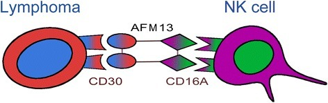 AFM13-mediated activation of NK cells. One arm of AFM13 binds to the CD30 antigen on lymphoma cells, whereas the other arm binds to the CD16A antigen on the NK cells. The activated NK cells destroy the lymphoma cells. The NK cell activation and lymphoma destruction mediated by AFM13 are CD30-dependent