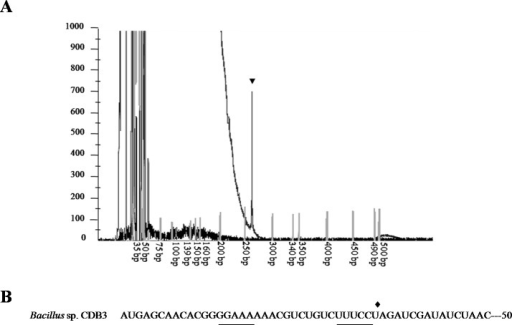 Mapping of RNA degradation product.(A) Electropherogram showing the result of primer extension assay. The extension product is indicated by arrowhead and size standards are labelled below. (B) The first 50 nucleotides sequence of CDB3 arsY RNA coding region indicating an inverted repeat (underlined) and 5'-end of 1.5-kb RNA (pointed by diamond).