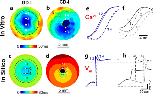 Response to optical stimulation in light-sensitive cardiac syncytia.(a,b) Activation maps resulting from optical stimulation (1 Hz) of in vitro light-sensitive cell monolayers in the island configuration. Optical stimulus strength was at most 0.07 mW/mm2 greater than the threshold irradiance required to elicit a propagating response (Ee,thr). Time zero corresponds to the beginning of a 20 ms-long pulse of blue light (wavelength λ = 470 nm) applied to the 1 cm-diameter region indicated by the dashed black line in (a); spacing between isochrones is 10 ms. (c,d) Same as (a,b) but for in silico cell monolayers. Simulated optical stimuli were at most 0.0005 mW/mm2 greater than Ee,thr. Here time zero corresponds to the end of each 20 ms-long illumination pulse instead of the beginning; spacing between isochrones is 10 ms. Black-coloured locations did not activate. (e,f) Select in vitro calcium transients from the pixel locations 1–4 indicated in (a,b) on opposite sides of the island of ChR2-expressing donor cells (CM in GD and HEK in CD) showing the wavefront activation sequence. (g,h) Select in silico voltage traces (analogous to those in (e,f)) from locations 1–4.