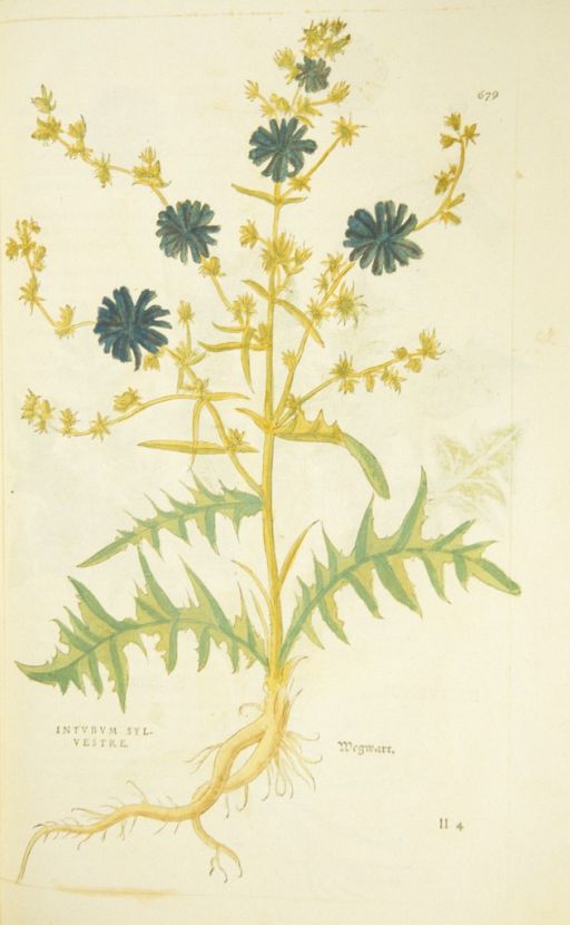 <p>Hand-colored woodcut of a chicory plant in bloom.</p>