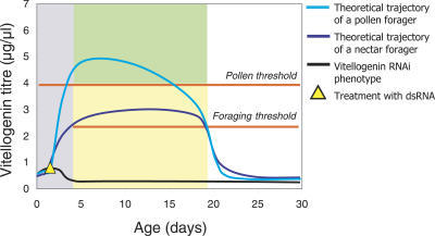 Vitellogenin Has a Dual Role in Regulation of Social BehaviorAfter the maturation phase, when bees are unable to forage (grey) [37], vitellogenin suppresses the transition from nest tasks to foraging activity when its titer remains above the foraging threshold level [3,7]. Below this threshold, the probability of initiating foraging is increased [5]. Pre-foraging vitellogenin titers above the pollen threshold prime workers for pollen foraging (green), while workers with lower pre-foraging titers (yellow) are primed for nectar foraging [9]. vitellogenin RNAi causes workers to mature with vitellogenin titers that are below both thresholds [3,7,9,12], resulting in the vitellogenin knockdown phenotype documented here: bees that forage precociously and preferentially collect nectar.