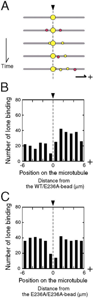 Directionality of lone binding. (A) Schematic illustration of an representative sequence of binding events. Arrowhead indicates the position of the WT/E236A-bead. New bindings are colored red and turn yellow in subsequent images. Total binding counted in Fig. 3 B may include those that are genuinely induced by the WT/E236A-bead and those that are facilitated by the presence of other test beads. Even if the cooperative binding induced genuinely by the WT/E236A-bead was symmetric, the movements of these bound beads toward the MT plus end might lead to the asymmetric distribution of the subsequent binding. (B) Distribution of the lone bindings summed for 10 MTs with a bound WT/E236A-bead (total 320 bindings). (C) Distribution of the lone bindings summed for 10 MTs with a bound E236A/E236A-bead (total 414 bindings). In both B and C, bin width is 1 μm. With a similar observation time (∼190 min), more lone bindings were counted for MTs with a bound E236A/E236A-bead as compared with the MTs with a bound WT/E236A-bead. This result is not surprising given that less frequent binding means a larger fraction of lone bindings in the total binding count.