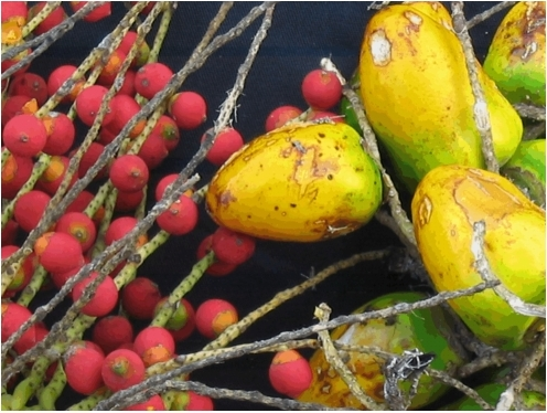 Contrast between wild (Bactris gasipaes var. chichagui type 1 – Left) and cultivated (B. gasipaes var. gasipaes Pará landrace – Right) fruits near Parauapebas, Pará, Brazil.Credit: Evandro Ferreira.