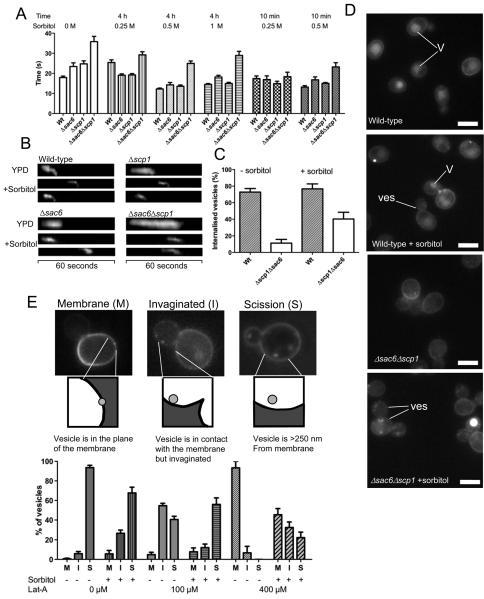 Alleviation of turgor pressure rescues a requirement for bundled actin during endocytosis(A) Wild-type yeast, or strains lacking either actin bundling protein Δsac6, or Δscp1 or both Δsac6Δscp1 were transformed with a marker of actin in endocytosis (GFP-Abp14). Sorbitol was added at either 0.25, 0.5, or 1 M to the cells for either 4 hours or 10 minutes and the effect on lifetimes of GFP-Abp1 measured. Number of patches assessed for each sample ≥30 in ≥4 cells. (B) Kymographs from these strains illustrating the effect of sorbitol on lifetime and behaviour of the patches. (C) The proportion of GFP-Abp1 patches showing inward movement was quantified for wild-type and the Δsac6Δscp1 strain. Number of patches assessed for each sample ≥45 in ≥8 cells (D) Actin-bundling mutants affect uptake of the fluid phase marker Lucifer yellow. Addition of sorbitol increases the proportion of cells showing uptake of the stain into vesicles (Ves) and endosomes in cells but few cells still show vacuolar (V) staining indicating a post-scission requirement for actin that is not affected by sorbitol. Bar = 5 μM. (E). The effect of increasing latrunculin-A concentration on endocytosis and partial rescue of the effect by sorbitol. Cells were treated with either 100 or 400 μM Latrunculin-A (or the control with DMSO alone), for 10 minutes, prior to addition of sorbitol for 10 minutes, and Lucifer yellow for 20 minutes. Spots that were visualized were categorised as indicated - (M) for spots still in the plane of the plasma membrane; (I) for spots that have moved out of the membrane but are still contiguous in terms of the lucifer yellow signal; (S) for spots that have successfully undergone scission and are at least 250 nm from the membrane. Number of spots assessed for each sample ≥140 in ≥60 cells.