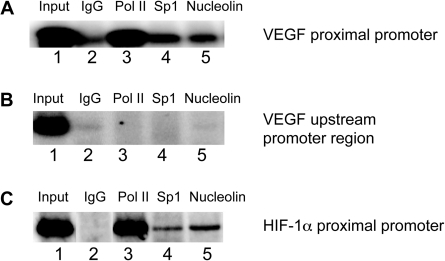 (A) ChIP analysis to determine the binding of nucleolin to the VEGF promoter region containing the polypurine/polypyrimidine tract in A498 renal carcinoma cells. Recruitment of RNA Polymerase II (Pol II) (lanes 3), Sp1 (lanes 4) and nucleolin (lanes 5) to the VEGF proximal promoter was assessed using primers specific to the VEGF promoter (–248 to +48). One percent of total input DNA was used as a loading control (lane 1) and isotype-matched IgG was used as an internal control for the immunoprecipitation (lane 2). (B) PCR amplification of immunoprecipitated DNAs using primers specific to the 5′ upstream promoter region (–1079 to –874) of the VEGF gene as a negative control. (C) PCR amplification of immunoprecipitated DNAs using primers specific to the proximal promoter region (−273 to +71) of the HIF−1α gene as a positive control. Data shown are representative of at least two experiments.