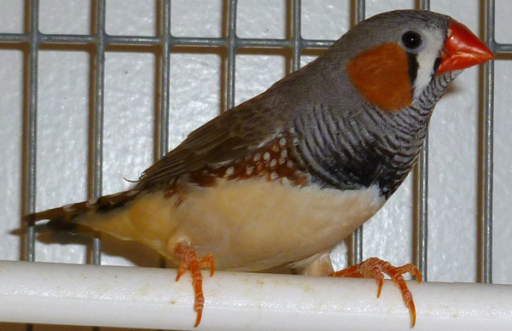 Zebra finch. Zebra finches (Taeniopygia guttata), like this adult male, have contributed much to our understanding of the anatomical, physiological, neurochemical, and molecular properties of neural circuits that are involved in the perception, production and learning of birdsong.