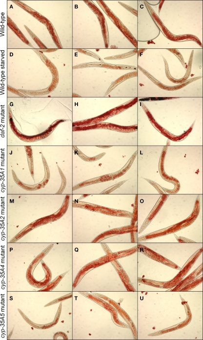 Fat content visualized by Oil-Red-O staining. N2, starved N2, daf-2, cyp-35A1, cyp-35A2, cyp-35A4, cyp-35A5. Animals were grown and treated as described in Materials and Methods. Staining was performed on populations of day-1 adult animals and photographed using transmitted light microscopy at 200 magnification. Panels shown are three typical fields per mutant or treatment. (A-C), wild-type; (D-F), wild-type starved; (G-I), daf-2 mutant; (J-L), cyp-35A1 mutant; (M-O), cyp-35A2 mutant; (P-R), cyp-35A4 mutant; (S-U), cyp-35A5 mutant.