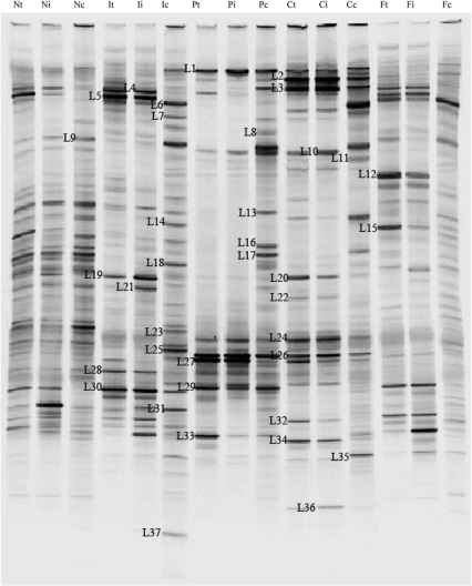 DGGE analysis of the bacterial community in the lumen contents of different treated transplantation rats.Bacterial community profiles were generated from the DNA of luminal samples using the universal PCR primers 8f and 798r. N, normal control group; I, Syn group; P, PBS group; C, CO group; F, FO group. t, transplanted intestine; i, ileum; c, colon.
