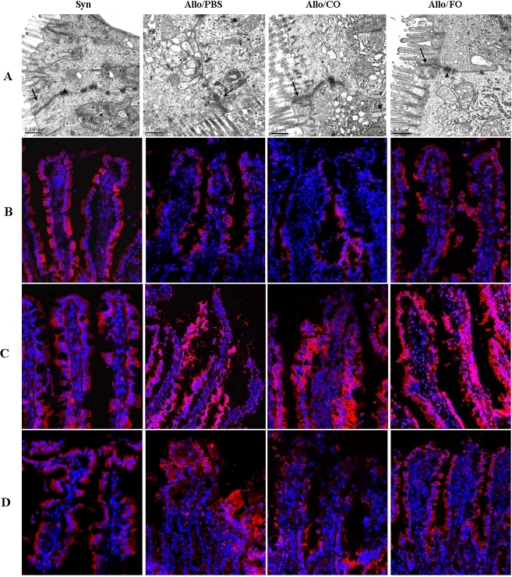 Fish oil prevented the alteration of TJ ultrastructure and redistribution of TJ proteins in intestinal transplant rats.(A): Transmission electron microscopic analysis was performed to investigate changes in the ultrastructure of TJ during chronic rejection. Arrows indicated apical TJ and arrows heads depicted desmosomes. In PBS and CO groups, the electron dense materials decreased significantly, indicating disruption of TJ ultrastructure both in the allograft. In addition, desmosomes disappeared in the two groups. In contrast, fish oil preserved the ultrastructure of TJs. In FO group, TJs and desmosomes displayed intact structure as those in syngeneic group. Bars in the images were 0.5 µm. (B): Examination of the tight junction protein occludin by immunofluorescency. The allograft intestine was subjected to immunostaining with the corresponding antibody. And the distribution of TJ proteins in the epithelium was examined by immunofluorecency. (C): Immunolocalization of claudin-1 in the allograft intestine in intestinal transplant rats. The allograft intestine was subjected to immunostaining with the claudin-1 antibody, and images were captured with a confocal scanning microscope. (D): Immunofluorescence staining for claudin-3. Fish oil prevented redistribution of claudin-3 in the allograft intestine.