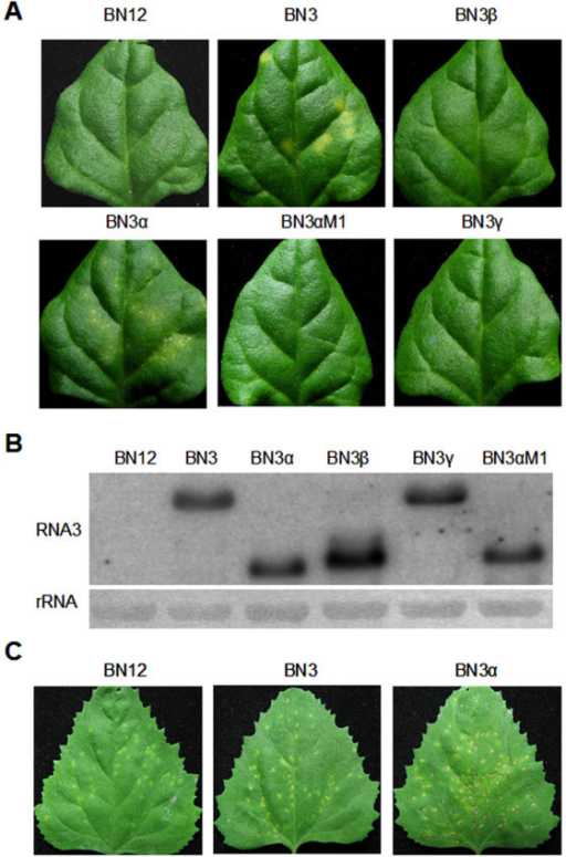 Effects of BNYVV RNA3 and D-RNA3 mutants on the symptom of local lesion host. (A) Symptom induced by RNA1, 2, alone or combined with in vitro transcripts of RNA3 and D-RNA3 on the inoculated leaves of T.expansa in 5 dpi. (B) Northern analysis of wild type RNA3 and D-RNA3 mutants from inoculated leaves of T.expansa. (C) Symptom induced by RNA1 2, alone or combined with in vitro transcripts of RNA3 and D-RNA3α on the inoculated leaves of C. amaranticolor in 5 dpi.