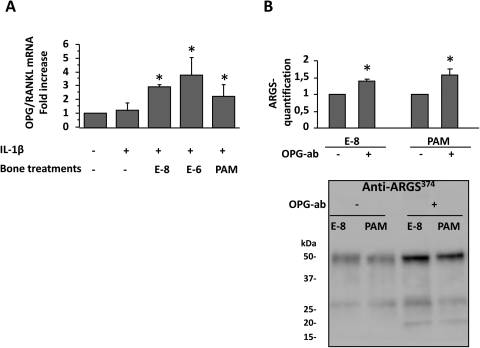 OPG exerts protective effects on cartilage catabolism.A. OPG/RANKL mRNA ratio in IL1-β stimulated bone explants cultured with estradiol at 0.01 µM (E-8) and 1 µM (E-6), and with pamidronate (PAM). The graph represents the mRNA ratio to controls in 3 different experiments. B. Effect of OPG blockade by a neutralizing antibody (OPG-ab) on ARGS374 sequences expression in supernatants of cartilage explants cultured with conditioned bone media. Image of a representative Western blot, and the graph shows the mean quantifications ± SEM of 4 different experiments. Quantification was done on the 50 kDa bands. *: p<0.05.