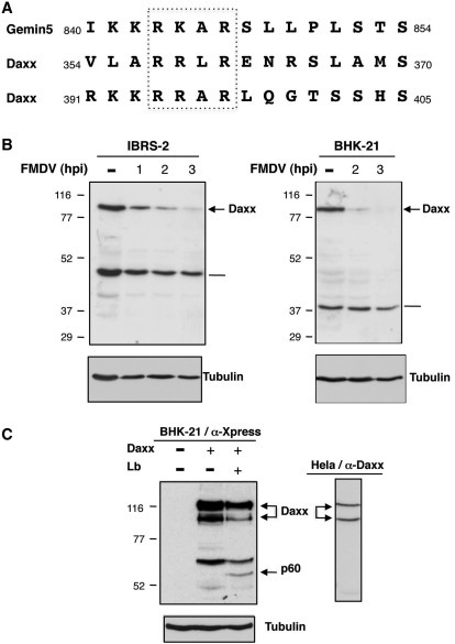 Search of putative substrates of L protease by homology to the motif identified in Gemin5. (A) Alignment of amino acid sequences present in Gemin5 and Daxx around the RKAR motif. Subscript symbols indicate amino acid positions. (B) Proteolysis of Daxx in FMDV-infected cells. Extracts of FMDV-infected cells (IBRS-2 and BHK-21 cells) immunoblotted with α-Daxx; the unspecific band detected in each of this cell line (depicted by thin lines) was not observed in Hela cell extract. (C) Extracts of BHK-21 cells transfected with pcDNA3.1-HIS6CDaxx (expressing the human Daxx protein) 24 h prior to transfection of Lb plasmid, immunoblotted with α-Xpress (left panel); two polypeptides of ∼116 and 100 kDa are detected by immunodetection of the endogenous human Daxx in HeLa cells (right panel). Arrows depict the Daxx protein and the p60 proteolysis product; tubulin was used as loading control.