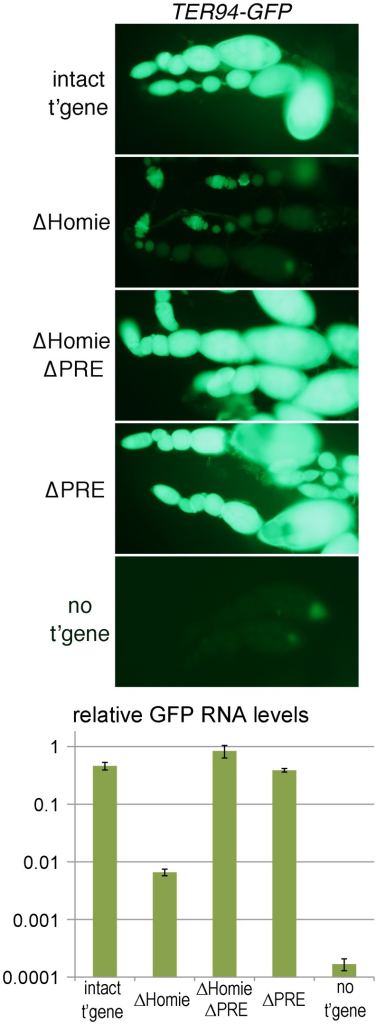 "Homie blocks PRE action in ovaries.Fluorescence and GFP RNA levels in ovarioles from fly lines carrying the indicated transgenic reporters (described in Figure 1), or no transgene (""no t'gene""). Note the strong fluorescence from TER94 promoter-driven GFP with the intact transgene (""intact t'gene"") at all stages of oogenesis (which proceeds from left to right within each string of ovarioles), and that this is lost when Homie is deleted (""ΔHomie""). Remarkably, strong GFP expression is restored when both Homie and the PRE are deleted (""ΔHomie ΔPRE""), indicating that in the absence of Homie, the PRE is responsible for repression of TER94-GFP. Strong expression is also seen when only the PRE is removed (""ΔPRE""). The graph at the bottom shows, on a log scale, the results of quantitation in triplicate (averages with standard deviations) of GFP RNA from ovaries of lines carrying the indicated transgenes (see Materials and Methods). Note that GFP RNA levels decrease more than 50-fold when Homie is deleted, and are restored by additional deletion of the PRE."