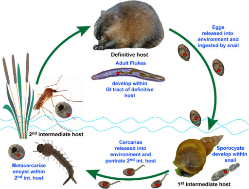 Natural life cycle of the digenean Plagiorchis elegans. Neorickettsia infection is represented by a red dot.