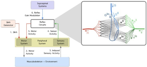 The learning framework.1) Spontaneous motor activity stimulates the motor system and 2) causes the muscles to contract. 3) The generated forces are propagated through the musculoskeletal system (and the environment) and induce sensor stimulation in the primary () and secondary () spindle afferent fibers. 4) The correlation between the sensor and motor signals is used to self-organize the reflex networks,  and  which mediate the connectivity of afferents  and  respectively. 5) The reflex circuits are modulated from supraspinal systems using gains  and  which independently scale the reflex networks  and  respectively.