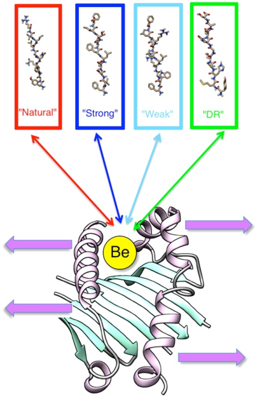 "Graphical depiction of our investigation of the effects of the Be ion on the complex made up of a HLA-DP2 protein, the Be ion, and a small peptide.We investigated four types of small peptides (""Natural"", ""Strong"", ""Weak"", and ""DR"") and two binding scenarios: (1) the ion bound to a small peptide and (2) the ion bound to the HLA-DP2 protein. Effect predictions include binding affinity, conformation changes of the peptide binding pocket, pKa shifts of titratable groups of the protein upon peptide and/or the Be ion binding."