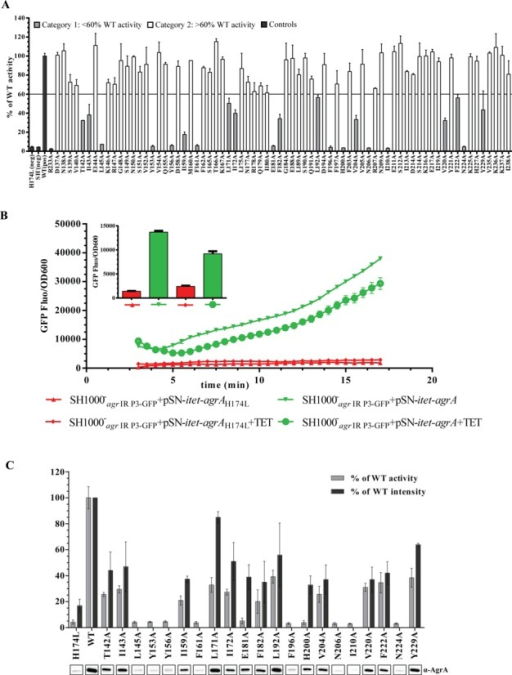 Systematic mutational analysis of Staphylococcus aureus AgrA LytTR domain. (A) Graph showing GFP expression [as GFP fluorescence units (GFP-FU)] as a function of growth (OD600) relative to the SH1000−agr IR P3-GFP + pSN-P2-agrA (WT) for each single alanine mutant after 8 h of growth in TSB. AgrA mutants displaying more than 60% activity compared to the wild-type AgrA are shown in white, the AgrA mutants displaying less than 60% activity compared to the wild-type AgrA are shown in grey and the controls (SH1000−agr IR P3-GFP + pSN-P2-agrAH174L, SH1000−agr IR P3-GFP + pSN-P2-empty, SH1000−agr IR P3-GFP + pSN-P2-agrA and SH1000−agr IR P3-GFP + pSN-P2-agrAR233A) are shown in black. (B) Graphs showing GFP expression [as GFP fluorescence units (GFP-FU)] as a function of growth (OD600) over time for SH1000−agr IR P3-GFP + pSN-itet-agrA (green lines) and SH1000−agr IR P3-GFP + pSN-itet-agrAH174L (red lines) strains grown in TSB with and without anhydrotetracycline. The bar chart in the insert represents the GFP expression of the same samples (color coded accordingly) at the 8 h time point. (C) Graph showing GFP expression [as GFP fluorescence units (GFP-FU)] as a function of growth (OD600) relative to the SH1000−agr IR P3-GFP + pSN-itet-agrA (WT) for each of the 21 single alanine mutant displaying less than 60% wild-type activity after 8 h of growth in TSB. A section of the western blot image indicating AgrA detected in whole cell lysates for each mutant is shown under the graph. For the 13 mutants that are detectably expressed, the quantification of the intensity of the band corresponding to AgrA mutants relative to the intensity of the band corresponding to the wild-type AgrA level is shown on the graph. Data for (A–C) were obtained from at least three biological replicates. (D) As in Figure 1B with the six of the eight aa residues (Y156, F161, F196, N206, I210 and N224), which when changed to alanine appear to impair the gross structural stability of AgrA indicated in red. (E) Multiple sequence alignment of the AgrA LytTR domain of representative staphylococci strains. Conserved residues are represented by a dot. The aa residues displaying similar colors have similar properties. The putative TAD mutants are highlighted in yellow.