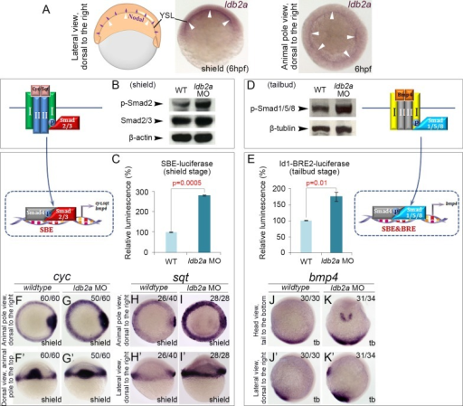Knockdown of ldb2a enhances Nodal/BMP signal transduction in zebrafish embryos.(A) At the onset of gastrulation, ldb2a expression is more noticeable in the yolk syncytial layer (YSL) (white arrowheads), which is an important source of Nodal signals (purple arrows). (B) At the shield stage, western blot showed increased phosphorylation of R-Smad2 in ldb2a morphants, while the level of overall Smad2/3 remained the same. β-actin was used as a loading control. (C) The activity of a TGFβ reporter SBE-luciferase was up-regulated in shield stage ldb2a morphants. (D) Phosphorylation of R-Smad1/5/8 was up-regulated in ldb2a morphants at the tailbud stage. β-tubulin was the loading control. (E) The activity of a BMP reporter Id1-BRE2-luciferase was increased in tailbud stage ldb2a morphants. (C and E) each displays a single representative experiment of three biological replicates, with the error bars corresponding to two technical replicates. For each biological replicate, 50 embryos were lysed and analysed. (F–I') Expression of Nodal ligands, cyc and sqt, was increased in shield stage ldb2a morphants. (J–K') Anterior and posterior expression of bmp4 was up-regulated at the tailbud stage. (F–G'): seven independent experiments, with the total number of analysed embryos shown on the top-right corner of each panel; (H–K'): two independent experiments. The wildtype control refers to uninjected embryos that are stage matched.