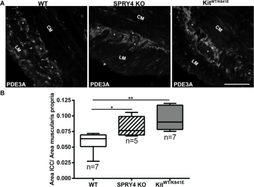 ICC hyperplasia in the antrum of 3-month-old Spry4 KO and KitWT/K641E.A) Widefield microscopy acquisitions. PDE3A immunoreactivity (-ir) highlights ICC in the antrum of 3-month-old WT, Spry4 KO and KitWT/K641E mice. B) Ratio of PDE3A-ir ICC area in the antrum muscularis propria. Abbreviations: LM: longitudinal muscle layer, CM: circular muscle layer, *: location of myenteric plexus, scale bar: 100μm. P-values (Kruskal-Wallis with Dunn's post hoc) *: p<0.05, **: p<0.01