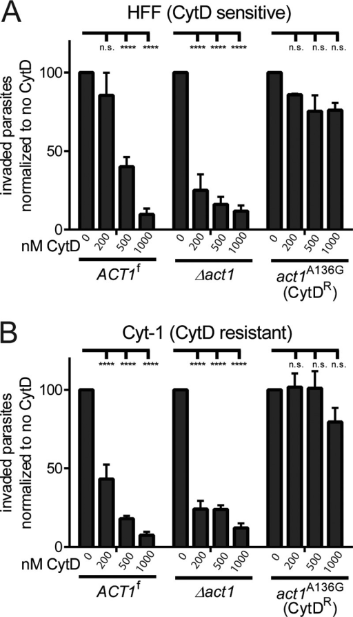 Testing sensitivity of invasion to actin inhibitor cytochalasin D (CytD). (A and B) Parasites were classified as intracellular or extracellular and as ACT1f intact or Δact1 using the differential staining protocol described in the legend to Fig. 1. The invasion rates of ACT1f intact and Δact1 parasites and CytD-resistant act1A136 parasites were compared in CytD-sensitive HFF cells (A) and CytD-resistant Cyt-1 cells (B). Data shown are mean values ± standard errors of the means (SEM) from 3 independent experiments with the ACT1f parasites and 2 independent experiments with the act1A136 parasites, each with 3 to 5 technical replicates. For each group, the number of intracellular parasites was normalized to the mean invasion rate of that group with no CytD. ****, P ≤ 0.0001; two-way ANOVA with Dunnett's multiple-comparison test. All experiments were performed with ACT1f-2 4 days after rapamycin induction of gene excision.